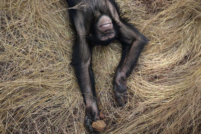 Альфа-самец группы, Сэм, лежит на сене во время пешей прогулки по саванне.  Фото: Dan Kitwood.