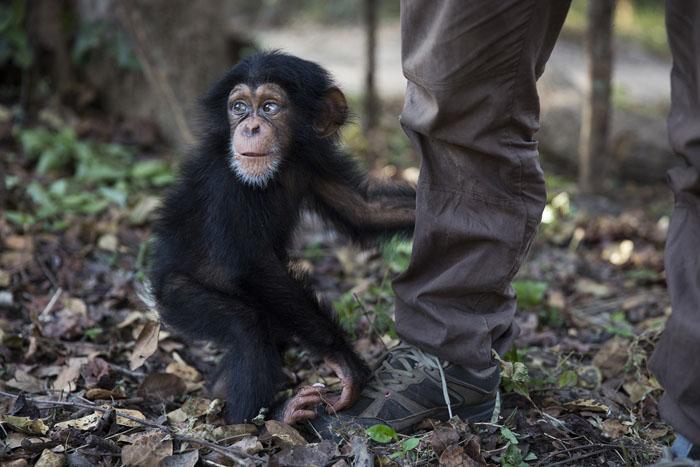10-месячная малышка Соумба осталась впервые одна без других обезьян впервые после прибытия в цетр.  Фото: Dan Kitwood.