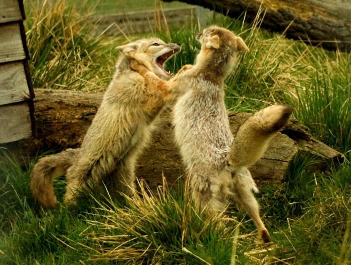 Две степные лисицы дерутся.