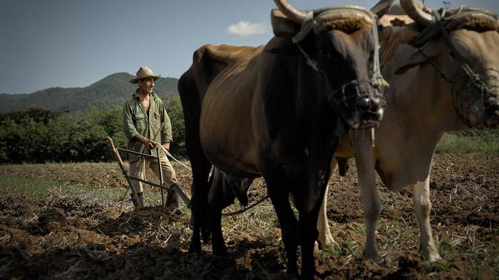 Альваро Маркес, к несчастью, потерял свою жену месяц назад, но он продолжает работать на ферме со своими волами Фортресс и Авенджер.