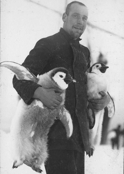 Штурман Хьюберт Хадсон несет птенцов пингвинов.