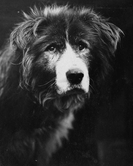 Ездовая собака Старый Боб.