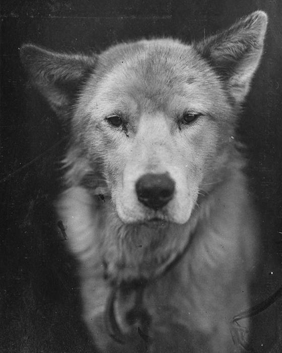 Ездовая собака Люпоид.