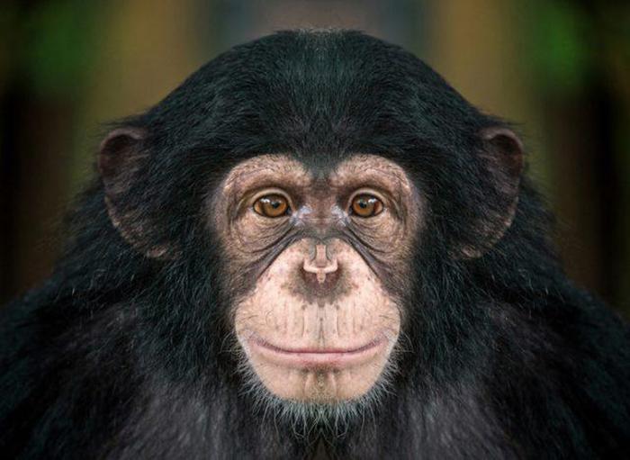 Шимпанзе.