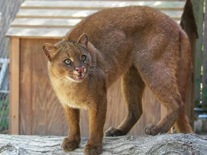 В неволе эти кошки живут до 10 лет.