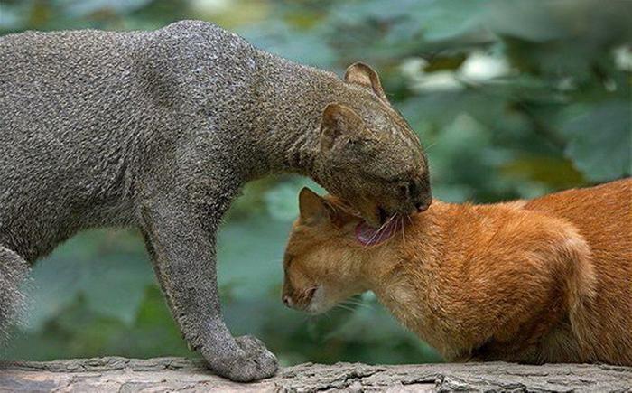 Ягуарунди бывают серо-бурыми и ярко-рыжими.