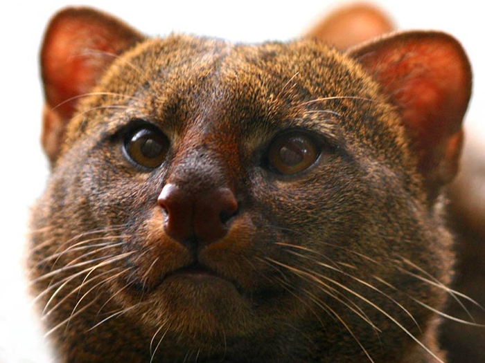 Ягуарунди - одна из немногих кошек, которых легко приручить.