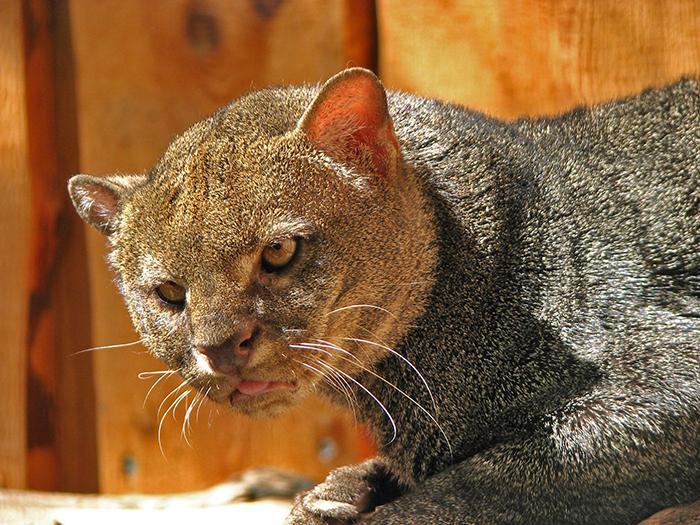 У ягуарунди обычно рождается 2-4 детеныша.