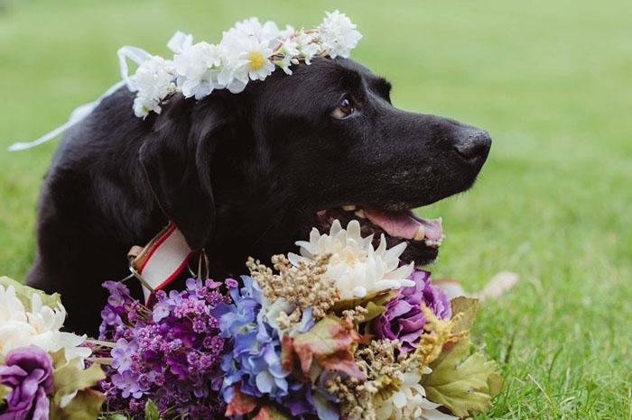Лабрадор Чарли в день свадьбы хозяйки.  Фото: Jen DZ Photography.