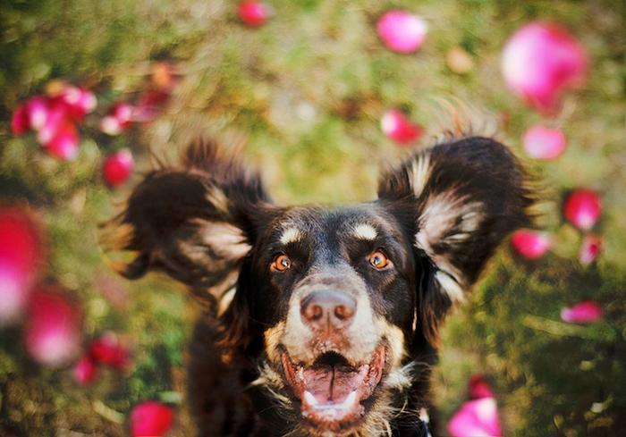 Австралийская овчарка Дейзи в объективе Джессики Трин.
