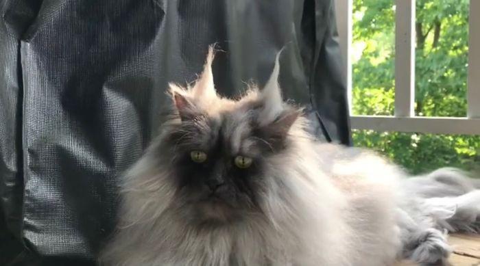Кот из Нью-Джерси. Instagram junotheangrycat.