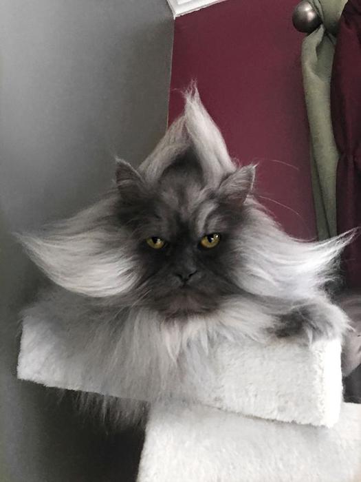 Гималайский кот Джуно.