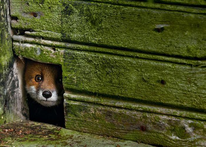 Лиса, выглядывающая из-под двери: Автор фото: Kai Fagerström.