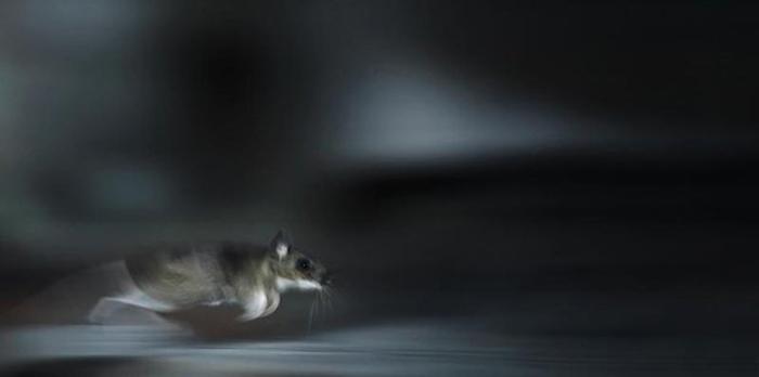 Бегущая мышь. Автор фото: Kai Fagerström.