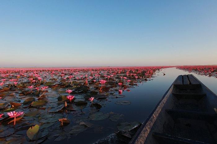 Озеро, покрытое розовыми цветами лотоса.