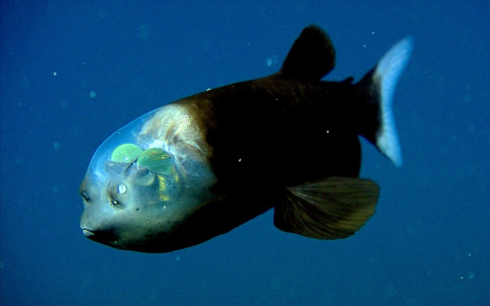 Удивительная рыба с прозрачной головой.