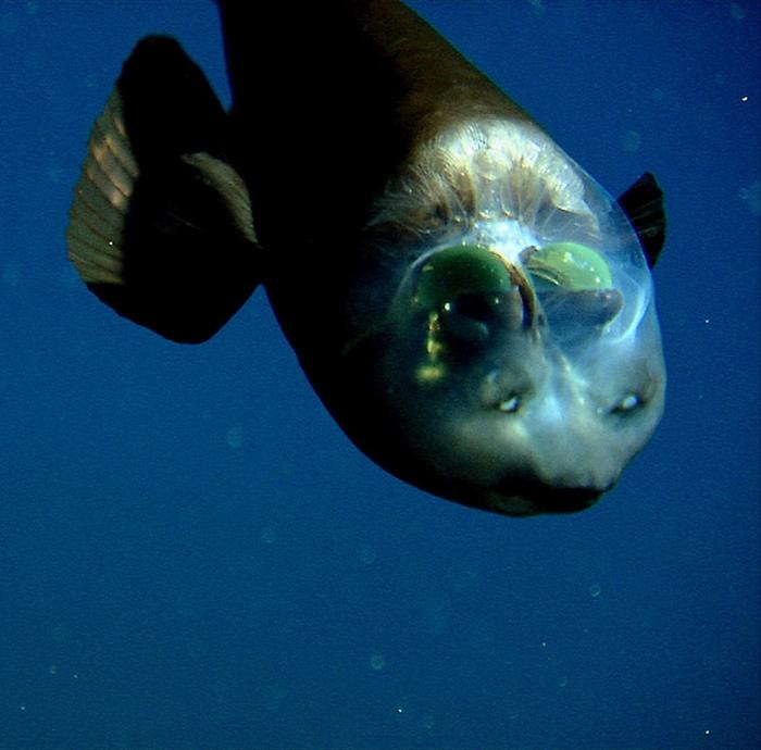 Бочкоглаз живет в Тихом океане возле Японии, Курильских островов, а также в Беринговом море.