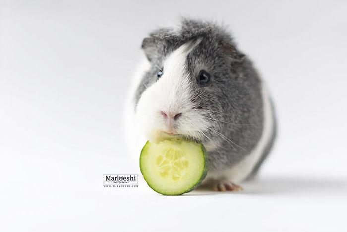 Морская свинка Мипс.  Фото: Marloeshi Photography.