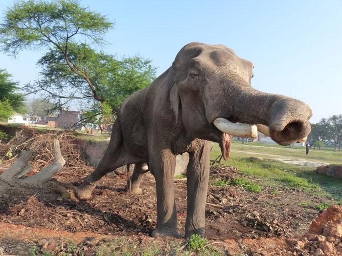 Mohan - самый неудачливый слон.