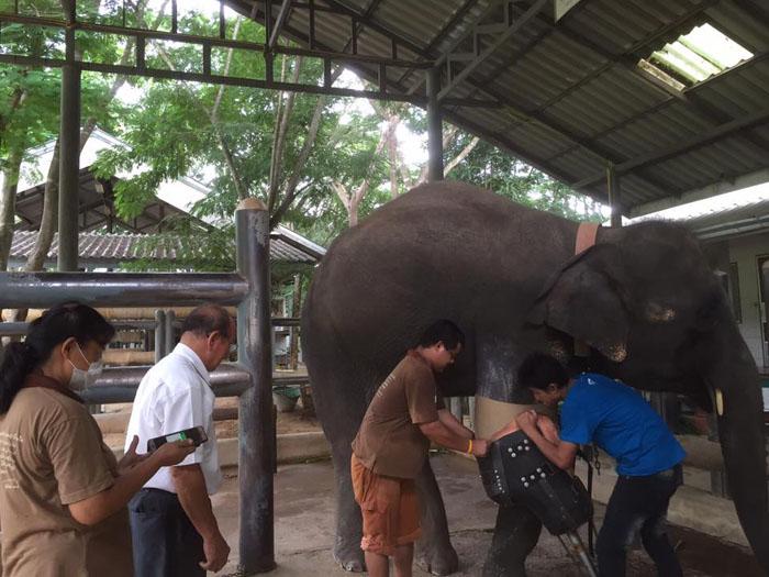 Слонихе Моше надевают ее девятый по счету протез.