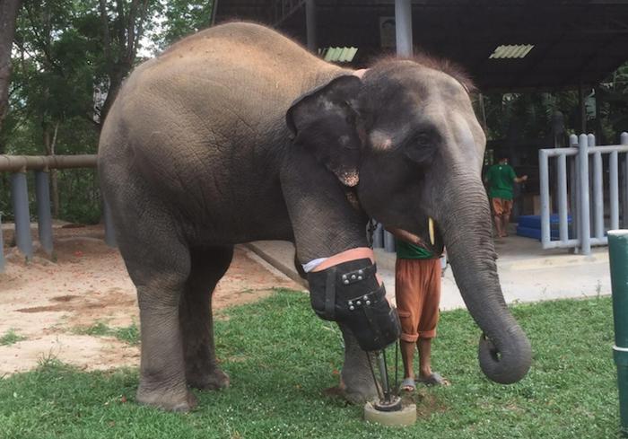 За первый год слонихе Моше пришлось сменить четыре протеза из-за постоянно увеличивающегося роста и веса.