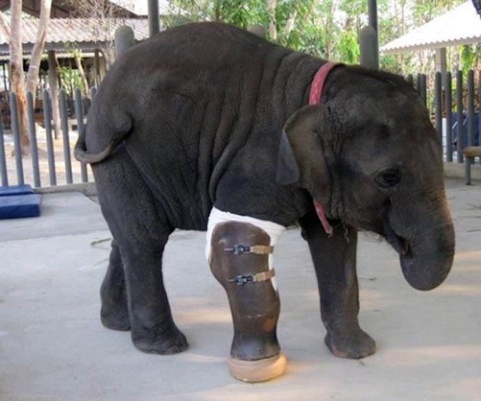 Слониха Моша стала первым слоном, для которого был сделан протез ноги.