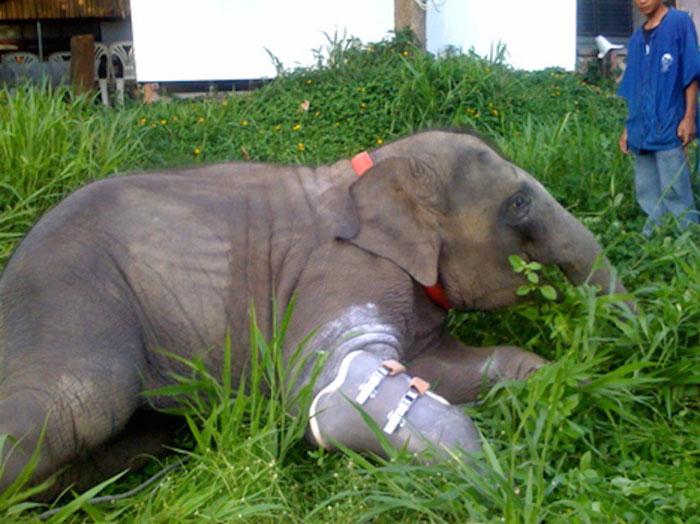 Без протеза слониха вряд ли бы выжила в дикой природе.