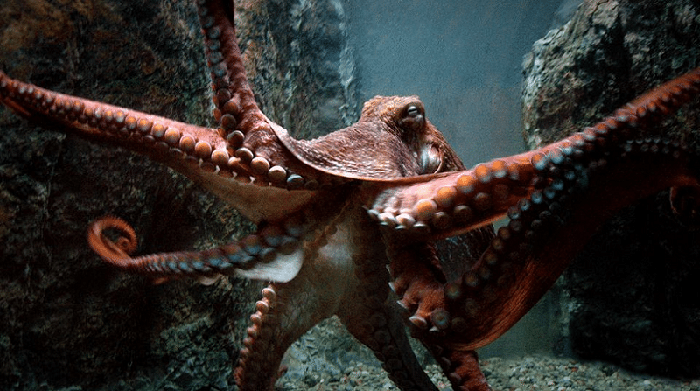Размеры осьминогов, приготовленных для участников соревнований, были разными, иногда животное весило около 25 кг.