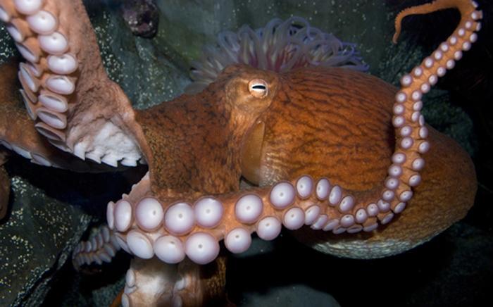 Борьба с осьминогом некоторое время считалась обычным видом спорта.