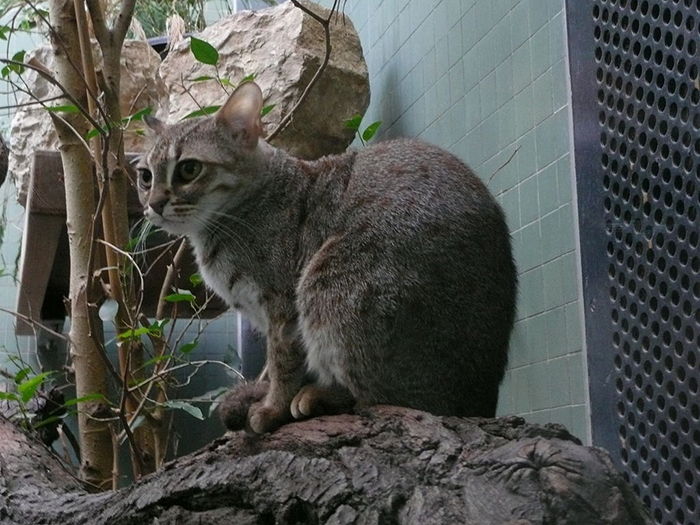 Ржавая кошка в клетке берлинского зоопарка.