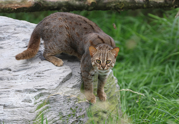 Зрение ржавых кошек в шесть раз лучше, чем человеческое.
