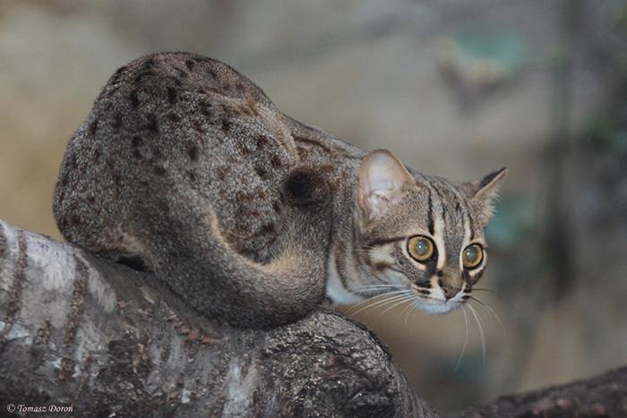 Ржавые кошки выглядят, как миниатюрная копия бенгальской кошки.