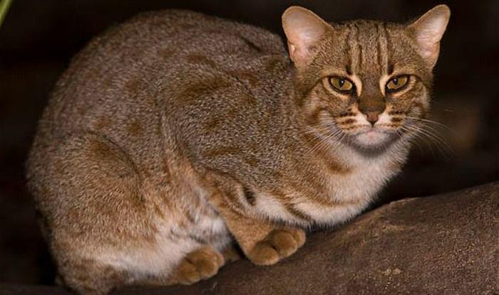 Ржавая кошка водится на юге Индии и на острове Цейлон.