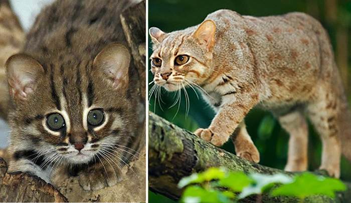 Маленькие кошки, в пять раз меньше домашних котов.