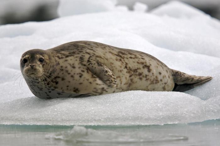 Взрослый тюлень на льду.