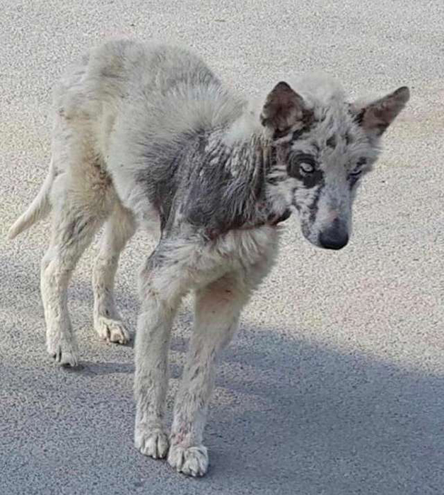 Когда социальная служба поймала Скай, собака выглядела крайне жалко.