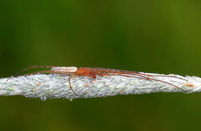 Пауки Tetragnatha  отличаются очень длинными лапами.