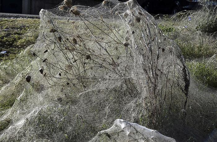 Накануне нашествия пауков жители отметили присутствие огромных роев комаров.