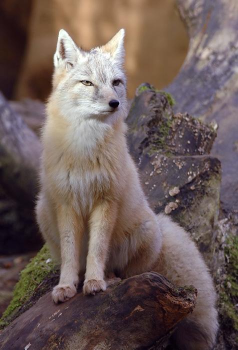 Степная лисица.