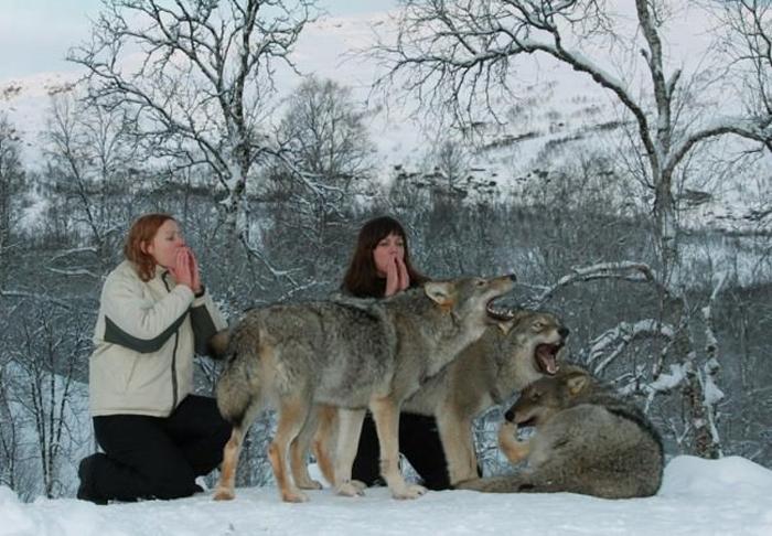 Посетители вместе с волками в Полярном Парке Норвегии.