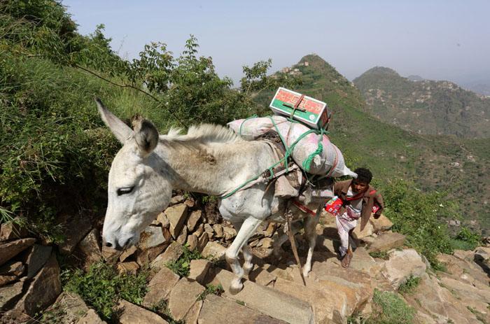 Мужчина  с ослом, тянущим еду на гору Даламлам.  Фото: Abduljabbar Zeyad.
