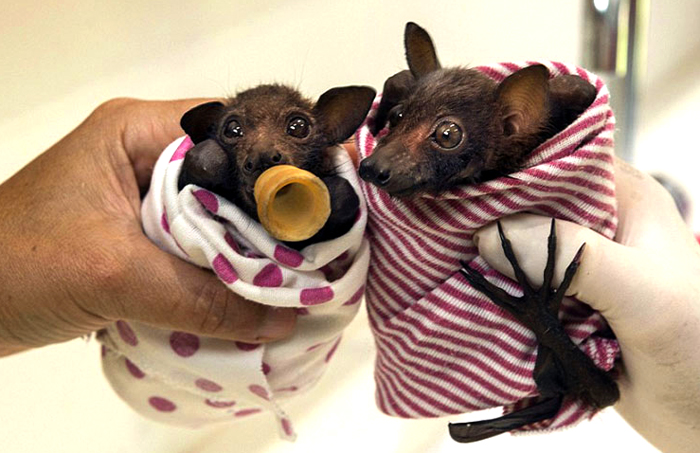 Детеныши летучих мышей в больнице.