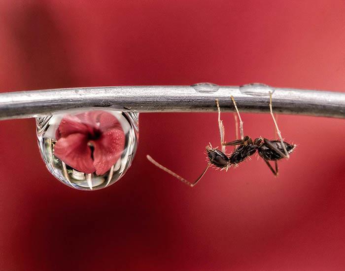 Майкл Анхело Луна из Филиппин сделал этот кадр у себя в собственном саду. Майкл три часа караулил муравьев, чтобы сделать именно такой кадр.