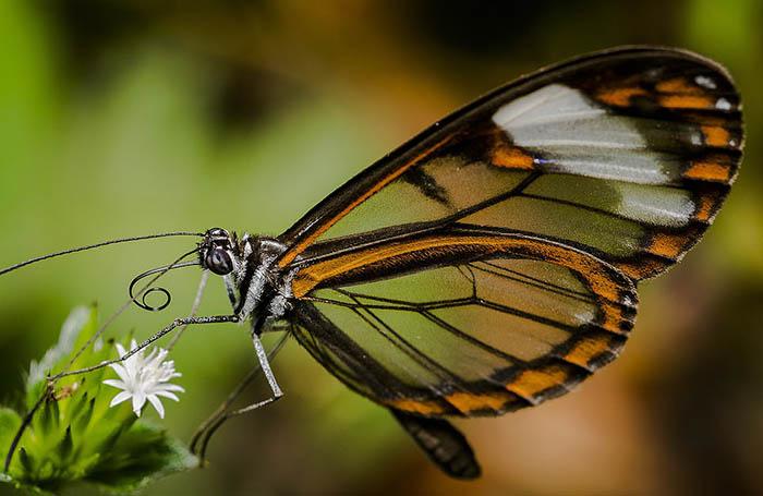 Бабочку с прозрачными крыльями сфотографировал Фреди Прада Букараманга из Колумбии.