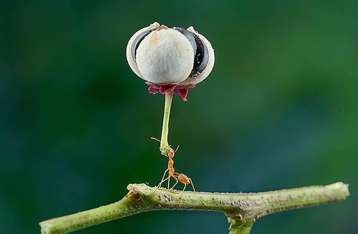 Муравей из Джакарты, Индонезия, несет цветок, намного крупнее самого муравья.