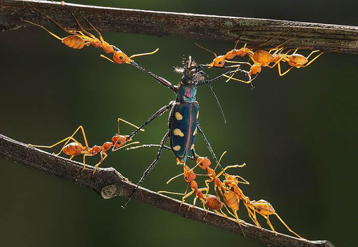 Команда муравьев из Индонезии.