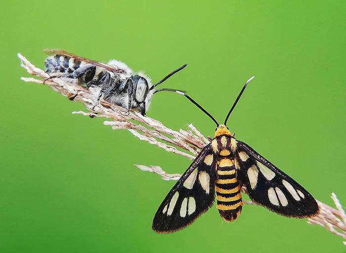 Пчела и бабочка сидят на одной ветке. Индонезия.
