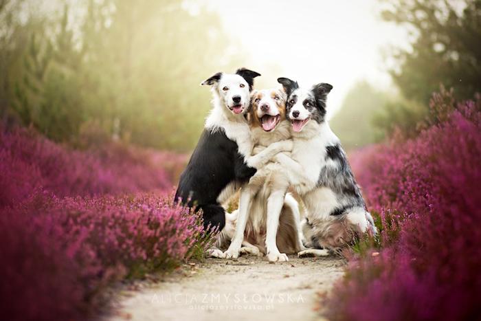 Три дружных бордер-колли.