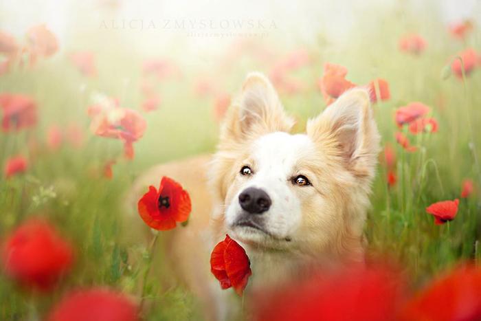 Собака в маковом поле.