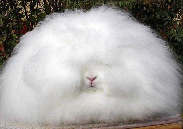 Ангорские кролики весят отдвух дошести килограмм.